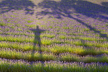 Lavender Field And Shadows Of A Man And Tree, Provence, France