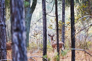 White-Tailed Buck (Odocoileus Virginianus) Watching In Pines, Reddick, Florida, United States Of America
