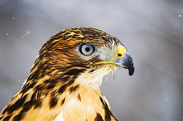 Red-Tailed Hawk (Buteo Jamaicensis), Ecomuseum, Ste-Anne-De-Bellevue, Quebec, Canada
