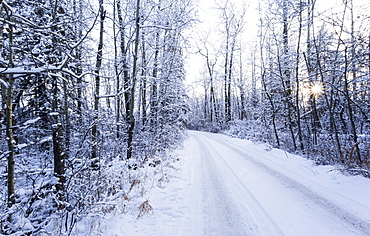 A Snow Covered Road With Tire Tracks And A Sunburst Through The Trees, Wetaskiwin, Alberta, Canada