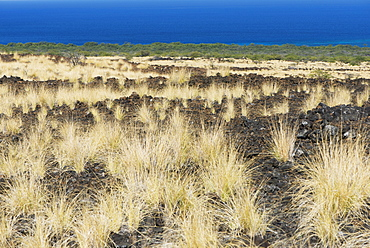 Wheat-Coloured Grasses Grow On The Lava Facing The Ocean, Waikaloa, Island Of Hawaii, Hawaii, United States Of America