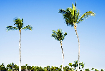 Palm Trees Over The Mauna Launi Golf Course, Mauna Launi, Island Of Hawaii, Hawaii, United States Of America