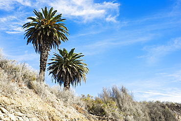 Beach Cliffs With Palm Trees, Near Santa Barbara, California, United States Of America