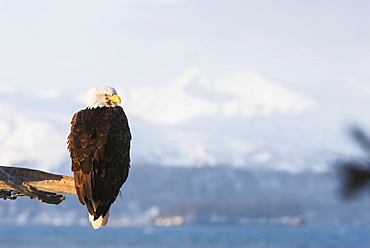 Alaskan Bald Eagle At 25 Below Huddles In His Feathers In A 30 Knot Wind, Alaska, Winter