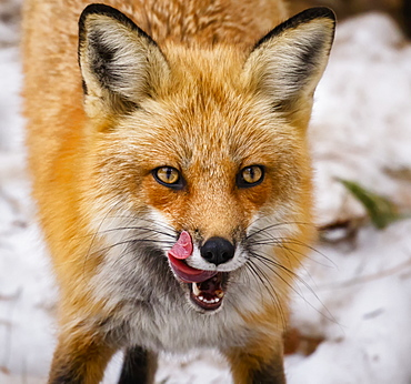 Red Fox (Vulpes Vulpes) Mother Being Playful, Montreal, Quebec, Canada