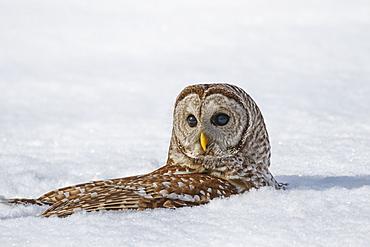 Barred Owl (Strix Varia) Snow Bathing, Boucherville, Quebec, Canada
