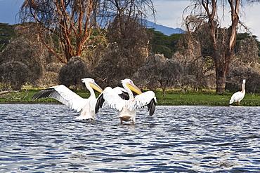 Pelicans Flap Their Wings On Lake Naivasha, Naivasha, Kenya