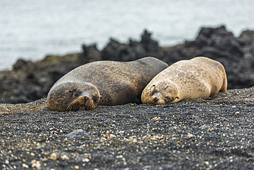 Two Galapagos Sea Lions (Zalophus Wollebacki) Asleep On Beach, Galapagos Islands, Ecuador