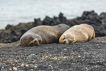 Two Galapagos Sea Lions (Zalophus Wollebacki) Asleep On Beach, Galapagos Islands, Ecuador