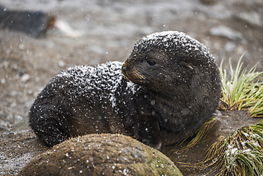 An Antarctic Fur Seal (Arctocephalus Gazella) Pup Is Lying Behind A Round Rock On A Sandy Beach, Looking To The Left,with Black Fur And Is Covered With A Thin Layer Of Fresh Snow, Antarctica