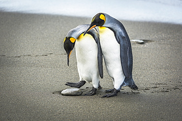 A King Penguin Looks Down And Wonders Whether To Step Over A Pebble On A Sandy Beach Or Stand On It, With Another Penguin Just Behind It, And They Both Have Black And Orange Heads, White Breasts With Orange Patches At The Throat, Grey Backs And Flippers A