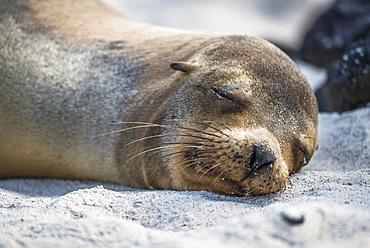 Galapagos Sea Lion (Zalophus Wollebaeki) Sleeping On Sandy Beach, Galapagos Islands, Ecuador