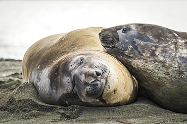 Close Up Of Elephant Seal (Mirounga Leonina) Resting On Another, Antarctica