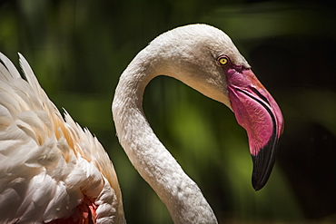 Close Up Of Chilean Flamingo (Phoenicopterus Chilensis) Head And Wings, Parana, Brazil