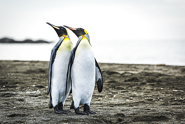 Two King Penguins (Aptenodytes Patagonicus) Mirroring Positions Of Beaks, Antarctica