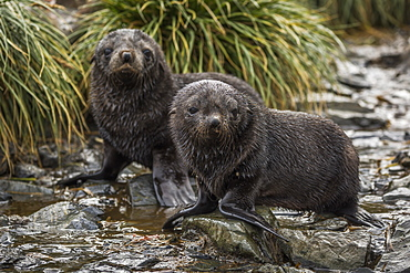 Two Antarctic Fur Seal Pups (Arctocephalus Gazella) In Stream, Antarctica