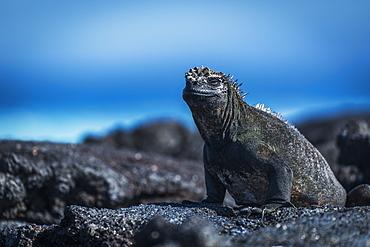 Marine Iguana (Amblyrhynchus Cristatus) Sunbathing On Black Volcanic Rocks, Galapagos Islands, Ecuador