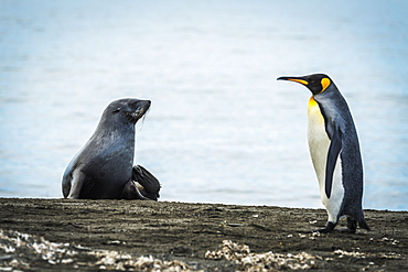 King Penguin (Aptenodytes Patagonicus) Walking On Beach Past An Antarctic Fur Seal (Arctocephalus Gazella), Antarctica