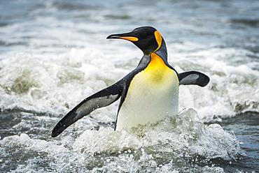 King Penguin (Aptenodytes Patagonicus) Wading Through Surf Towards Beach, Antarctica
