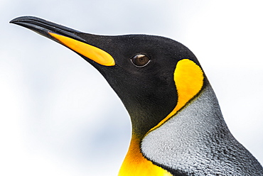 Close Up Of The Head Of A King Penguin (Aptenodytes Patagonicus) With A Black Head And Grey Back With An Orange Beak And Throat, Blurred Background, Antarctia