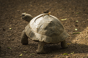 Galapagos Giant Tortoise (Chelonoidis Nigra) With Lizard On It's Shell, Galapagos Islands, Ecuador
