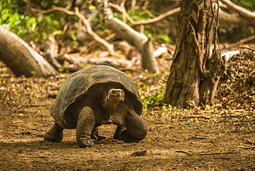 Galapagos Giant Tortoise (Chelonoidis Nigra) Walking Through Sunlit Woods, Galapagos Islands, Ecuador