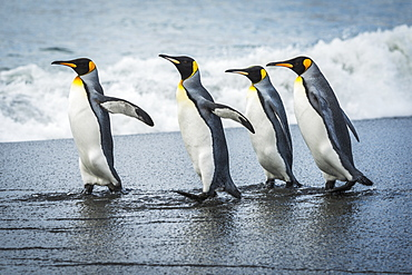 Four King Penguins (Aptenodytes Patagonicus) Walking Together On Beach, Antarctica