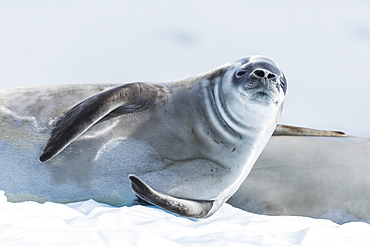 Crabeater Seal (Lobodon Carcinophaga) On Ice Looking At Camera, Antarctica