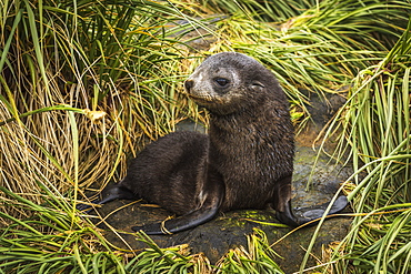 Antarctic Fur Seal Pup (Arctocephalus Gazella) With Turned Head, Antarctica