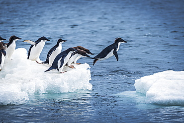 Adelie Penguins (Pygoscelis Adeliae) Diving Between Two Ice Floes, Antarctica