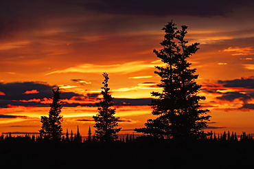 Sunrise Sihouettes A Stand Of Black Spruce, United States Of America