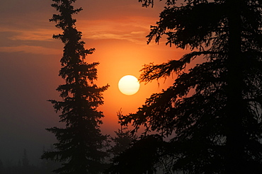 Glowing Sun At Sunrise With Black Spruce Trees Silhouetted, United States Of America