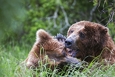 Brown Bears (Ursus Arctic) Play Fighting, Alaska, United States Of America