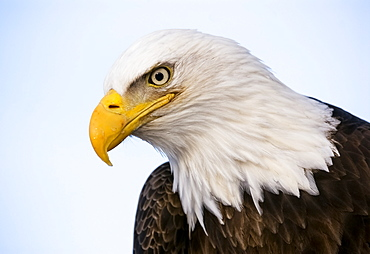 Bald Eagle (Haliaeetus Leucocephalus) With A Blue Sky Background, United States Of America
