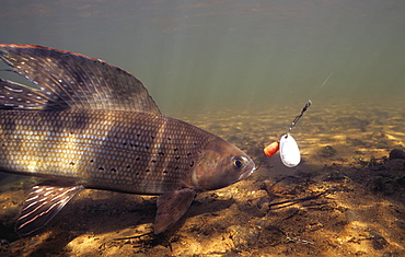 Arctic Grayling (Thymallus Arcticus) Underwater With Hook In Mouth, United States Of America