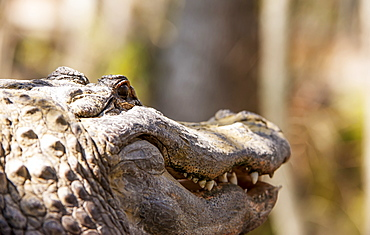 Alligator (Alligator Mississippiensis) Smiling, Silver Springs, Florida, United States Of America