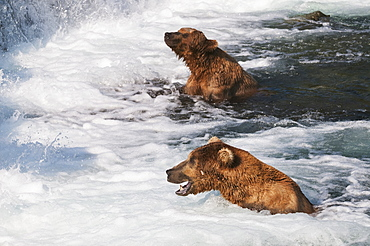 Brown Bears In The 'jacuzzi' At Brooks Falls Are Trusting The Confusion Of This Rolling Water To Help Them Catch Salmon, Katmai National Park, Southwest Alaska