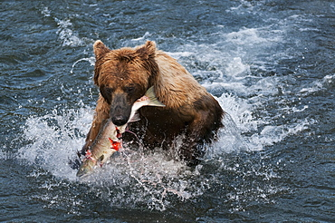 Brown Bear Catches Salmon And Quickly Runs To Shore, Brooks River, Katmai National Park, Southwest Alaska