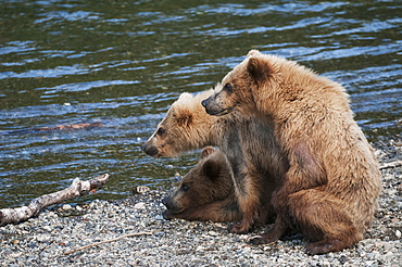 Two Year Old Triplet Cubs Wait While Their Mother Fishes For Salmon In Brooks River, Katmai National Park, Southwest Alaska