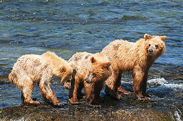 Sow With Cubs Play At Brooks Falls, Katmai National Park, Southwest Alaska