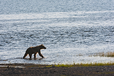 A Brown Bear Wades In A Salmon Stream, Katmai National Park, Southwest Alaska, Early Summer