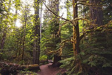 Sitka Spruce In An Alaskan Rain Forest, Alaska Summer