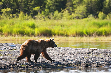 Young Brown Bear Walks The Shoreline Of Brooks River Searching For Food, Katmai National Park, Southwest Alaska
