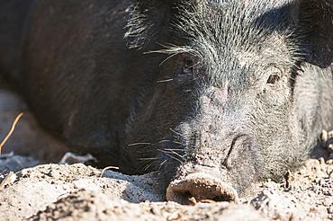 Close Up Of A Wild Hog, Gaitor, Florida, United States Of America