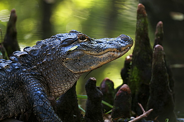 Alligator In The Cypress Knees, Silver Springs, Florida, United States Of America