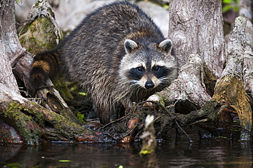 Raccoon In The Cypress Knees, Silver Springs, Florida, United States Of America