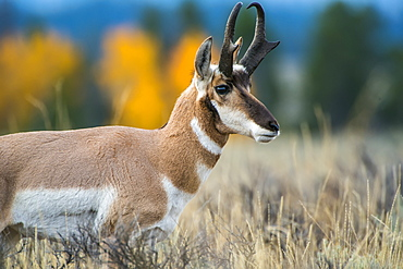 Pronghorn Antelope (Antilocapra Americana), Grand Teton National Park, Wyoming, United States Of America