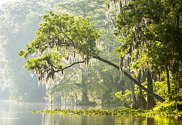 Silver River With Moss Draped Cypress Trees, Silver Springs, Florida, United States Of America