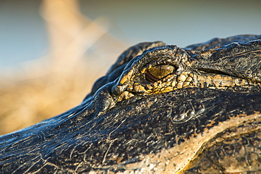 Alligator Eye (Alligator Mississippiensis), Gainesville, Florida, United States Of America