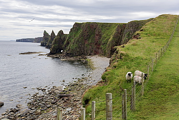Sheep On A Ridge With Sea Stacks And Cliffs Along The Coastline, Duncansby Head, John O' Groats, Scotland